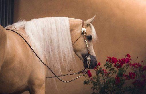 16صورة لأجمل الخيول العربية الأصيلة